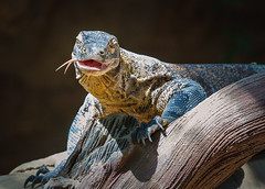 150721KomodoDragon-5 (Molly Goossens) Tags: animal zoo reptile komododragon minnesotazoo tropicstrail