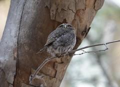 northern pygmy owl (canuck4everr) Tags: northern pygmy owl northernpygmyowl glaucidiumgnoma
