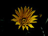 Is Yellow Garish or Beautiful (Steve Taylor (Photography)) Tags: yellow black contrast lowkey stark asia singapore flower