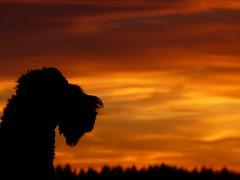 Silhouette im Abendrot (isajachevalier) Tags: sonnenuntergang abend abendstimmung abendrot hund dog tier haustier kerryblueterrier silhouette panasonicdmcfz150