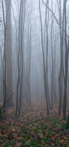 Foggy forest... [Saint-Symphorien, Belgium - 2017]