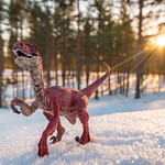 Wild Raptor in Rokua National Park thumbnail