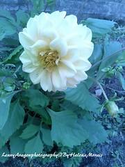 Flor de Monserrate! (LennyAragon) Tags: flower flor jardim garden sintra paraíso