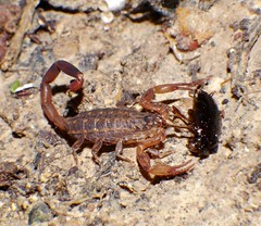 FETISH FOR FEET P1160531 (Steve & Alison1) Tags: orange tan black scorpion lychas species buthidae eating feet cockroach blattidae airlie beach rainforest foot fetish