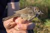 Zwartkop (vr.) (Marc Nollet) Tags: vogelfotografie vogel vogels ringen ringwerk antoine bird birds birdwatcher birding birdringing nollet eendekooi lissewege