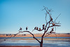 The Tree of Death (anderswotzke) Tags: a7rii africa anderswotzke sony bird birds prey vulture chobe botswana river plains nature wildlife animals