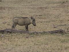 L1010428 (mylesm00re) Tags: africa limpopo phacochoerusafricanus vlakvark welgevondengamereserve za commonwarthog southafrica
