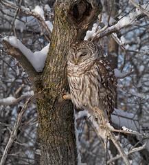 ----- Chouette rayée ------------ Barred owl ------------- Cárabo norteamericano (Jacques Sauvé) Tags: chouette rayée barred owl cárabo norteamericano hiboux rapace hibou prey oiseau ave bird hiver winter invierno