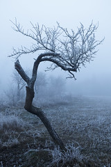 Solitude et déformation (le Rat et l'Ours) Tags: brume mist brouillard fog frosted tree frost givre arbre winter hiver white blue lost seul twisted tordu field champ outside extérieur