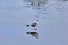 Walking on water? (John A King) Tags: chroicocephalusridibundus black headed gull ice frozen