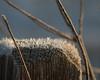 MagneticStrands (jmishefske) Tags: post january 2017 nikon winter nature d500 frost humid ice