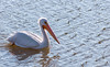 American White Pelican (Larry and Dena's Photography) Tags: americanwhitepelican pelican