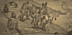 "NEPAL, Kathmandu,  Stupa von Swayambhunath, Affenbande , 15146/7842 (roba66 Thx for +27 Million views) Tags: reisen travel explore voyages urlaub visit roba66 nepal asien südasien asia city stadt capitol kathmandubefore earthquake ""stupa von swayambhunath"" stupa swayambhunath tempel tempelanlage eastasia temple tier tiere animal animals creature affe primate baboon monkey ape apes monkys makaken bw sw sepia"