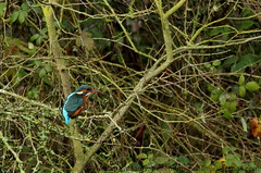 Kingfisher_11Mark (behemoth365a) Tags: priorycountrypark bedford bedfordshire wildlife kingfisher fingerlakes water blue