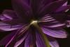 """SDIM9619-sd1- Fiore """"Anemone hortensis""""- agfa colostar 80mm f4.5 (ciro.pane) Tags: sigma sd1 merrill foveon anemone hortensis raggio luce sole punta campanella fiori selvatici termini italia italy italien italie exfujinon 135mm f56 enlarger lens bokeh"""