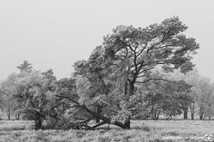 DN9A1318 (Josette Veltman) Tags: salland boetelerveld raalte natuur2000 natuur landschap landscape nature wit zwartwit blackwhite blackandwhite netherlands