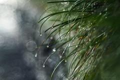 Glorious rain_c (gnarlydog) Tags: rain water waterdroplets grass bokeh detail closeup green australia adaptedlens refittedlens backlit willwetzlarmaginon85mmf28 projectionlens manualfocus vintagelenseffect speckledhighlights bubbles