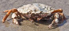 Alien (schreibtnix on 'n off) Tags: reisen travelling niederlande netherlands natur nature strand beach nahaufnahme closeup makro macro tiere animals krabbe crab strandkrabbe shorecrab carcinusmaenas olympuse5 schreibtnix