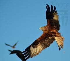 The Sun came out (ttbeep) Tags: redkite sun yorkshireweather friday20thjanuary2017 onthisdayinyorkshire nikond7100 bigbirds birds oops raptor harewood animal outdoor england