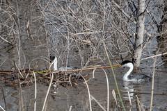 untitled-1100.jpg (Kayaking Gram) Tags: lakehodges sandiegocounty southofescondido nests westerngrebes