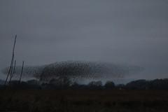 IMG_4313 (litrate) Tags: murmuration starlings silverdalemoss nearleightonmoss dusk aweinspiring cumbria