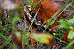 Salamandra | Salamander