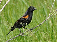 Red-winged Blackbird (Nige's Place) Tags: ontario canada blackbird redwinged