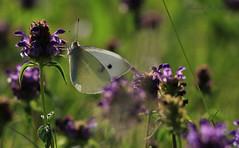 butterfly (melanieseifritz) Tags: butterfly morgen schmetterling morningsun morgensonne gutenmorgen