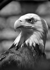BaldEagle.BuffaloZoo.15-06-25.a (320-ROC) Tags: bird buffalo eagle baldeagle raptor haliaeetusleucocephalus buffalozoo