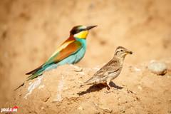 Gorrin chilln (Jorge Lzaro Fotografa) Tags: naturaleza fauna aves pjaro abejaruco abellerol gorrinchilln