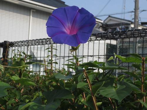 咲いています