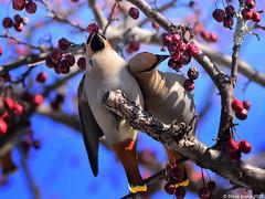 Stunning Bohemian Waxwing (Bombycilla garrulus) - ~250 present in New London, NH (Steve Arena) Tags: bird birds nikon newhampshire d750 newlondon waxwing songbird songbirds bombycillagarrulus bohemianwaxwing 2015 bowa merrimackcounty irruption irruptive