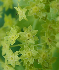 Lady's mantle - Alchemilla vulgaris (SAMARA: Back home now!) Tags: forest scotland july wildflower medicinal perennial rosaceae herbaceous ladysmantle glentrool alchemillavulgaris
