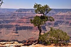 tree on south rim Grand Canyon (tonnyc) Tags: grandcanyon southrimlanscapearizona