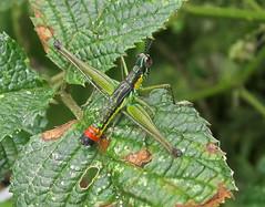 Eumastacidae (jjrestrepoa (busy)) Tags: colombia grasshopper orthoptera saltamontes eumastacidae caeliphera