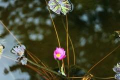 "Pondscape ""Thank you for 9 million + views!!!"" (LarryJay99 ) Tags: sunlight outside pond florida parks westpalmbeach bloom watersedge waterplants canonefs60mmf28macrousm canon60d mountsbotanicalgardens ilobsterit canonefs60mmf28macrousa"