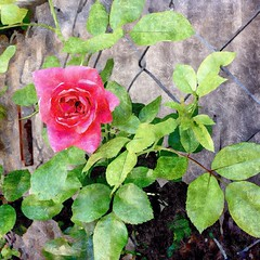 (Mr.Machain) Tags: pink flower nature rose fence painting pinkflower leafs silkpainting pinkrose greenleafs