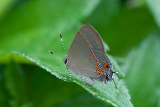 Theclopsis demea butterfly