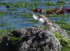 Feather collecting (mpp26) Tags: nesting material feather gull sparrow clever preen introduced female bird passerine