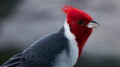 Red-Crested Cardinal Close Up (guillermo_romero) Tags: macro kauai hanaleibay