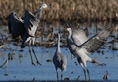 Sandhill Cranes (larryvenus) Tags: infocus highquality sandhillcranes sandhillcranesdancing consumnesriverwildlifepreserve nikon nikond500 tamron tamron150600mmg2 sanjoaquincountybirds statenisland lodicranes