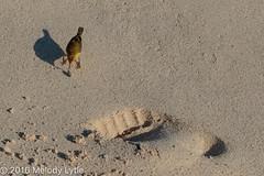 Yellow Warbler, Galapagos (karenmelody) Tags: animal animals bird birds ecuador galapagosislands mangrovewarbler parulidae passeriformes sancristobal setophagapetechiaaureola vertebrate vertebrates warblers yellowwarbler passerine passerines perchingbirds warbler
