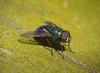 P1210094 (*泛攝影*) Tags: nature macro 戶外 insects taiwan 微距 特寫 景深 panasonic gx7 color 昆蟲 動物 花 植物 explore 探索 dof 台灣