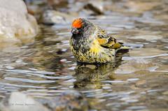 Red-fronted Serin (Esmaeel Bagherian) Tags:            esmaeelbagherian bird birds birdsofiran birdsphotography birdwatching birdwatcher 2016 1395 nikon nikond7000 tamron tamron150600 bath
