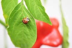 Asiatischer Marienkäfer im Winterquartier (blumenbiene) Tags: plants plant pflanze pflanzen indoor überwintern winter overwinter hibernate asiatische marienkäfer harmonia axyridis helloween harlequin multicolored asian ladybeetle blattläuse läuse aphids lice greenflies bekämpfung pest control