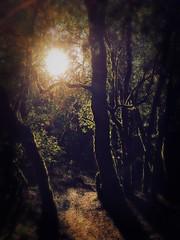 Sun Behind The Trees (harminder dhesi photography) Tags: annadel park bayarea norcal california sonoma sonomacounty santarosa snapseed sergio rijks hipstamatic light sun trees nature view outdoors winter hiking landscape