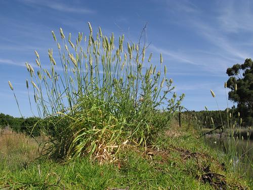 Phalaris aquatica plant8 CWS