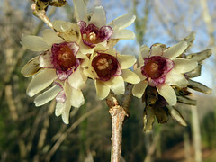 Chimonanthus yunnanensis W.W.Smith 1914 (CALYCANTHACEAE) (helicongus) Tags: chimonanthusyunnanensis chimonanthus calycanthaceae jardínbotánicodeiturraran spain