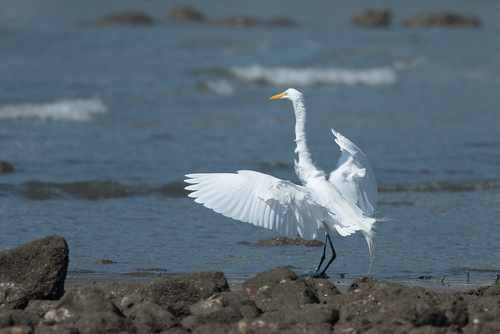 Egret in the breeze