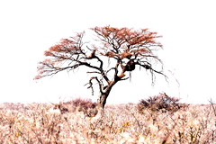 Tree of nests. (pstone646) Tags: tree highkey nature africa flora view landscape namibia nests